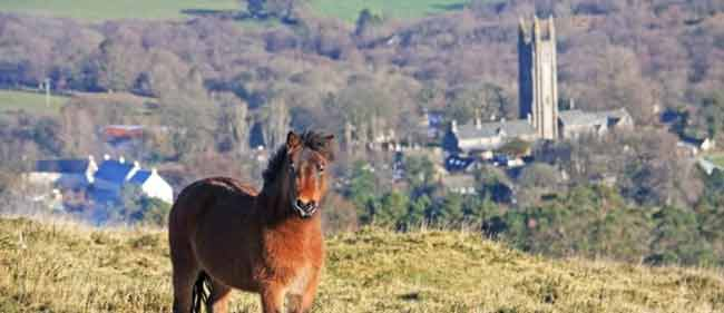 View of Dartmoor Pony with Widecome in the Moor in the background