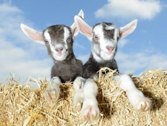 Friendly Goats at Pennywell Farm, South Devon