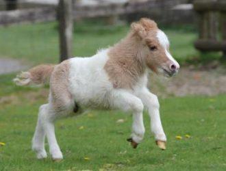 Miniature Pony Centre, Devon