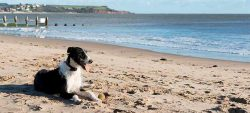 Dog at Dawlish Warren beach
