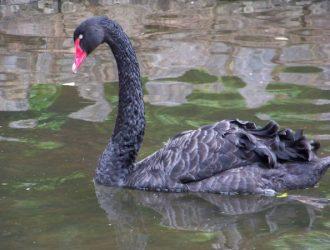 A Black Swan swimming in Dawlish brook.