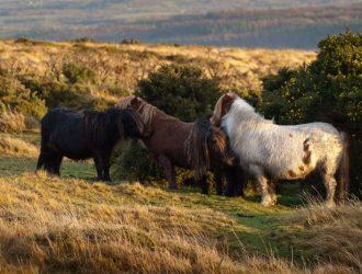 Dartmoor ponies grazing