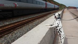 Dalmation Dog looking at trains going by near Dawlish