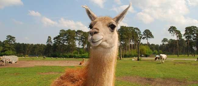 Image of a Llama