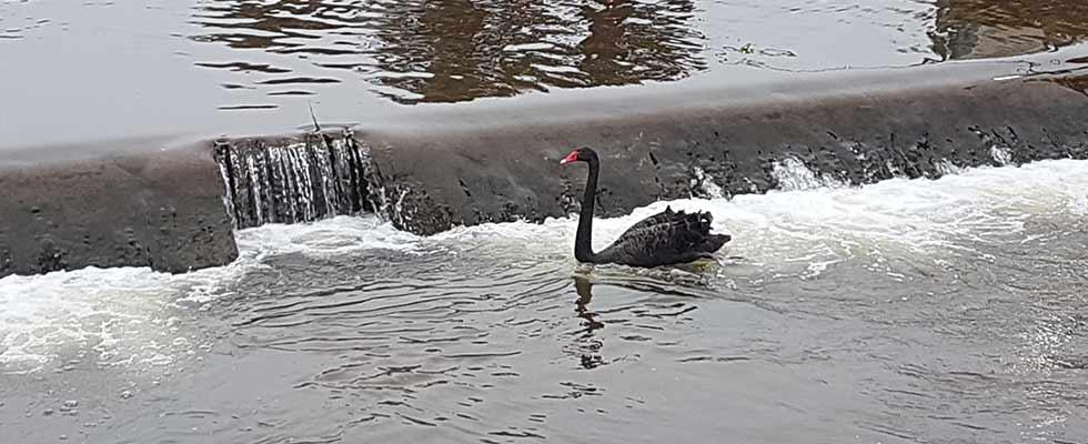 Black Swan at Dawlish